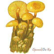 Зимний гриб