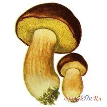 Польский гриб моховик каштановый