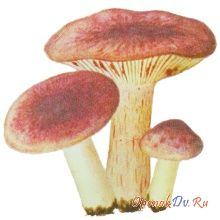 Гигрофорус сыроежковый, вишняк