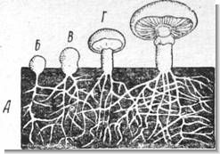 Грибница (мицелий) и развитие на ней плодовых тел шампиньона