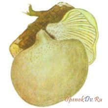 Ольховик, желтый гриб поздний