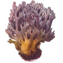 Коралловый гриб, рогатик аметистовый