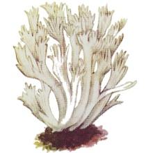 Рогатик гребенчатый