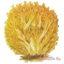 Коралловый гриб, рогатик золотисто-желтый