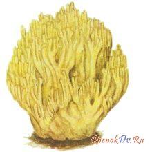 Коралловый гриб, рогатик желтоватый