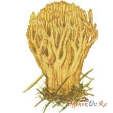 Коралловый гриб, рогатик еловый