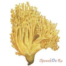 Коралловый гриб, рогатик тупой