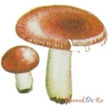 Сыроежка жгучеедкая
