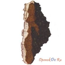 Чага, или черный березовый гриб