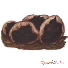 Древесные ушки волосистые